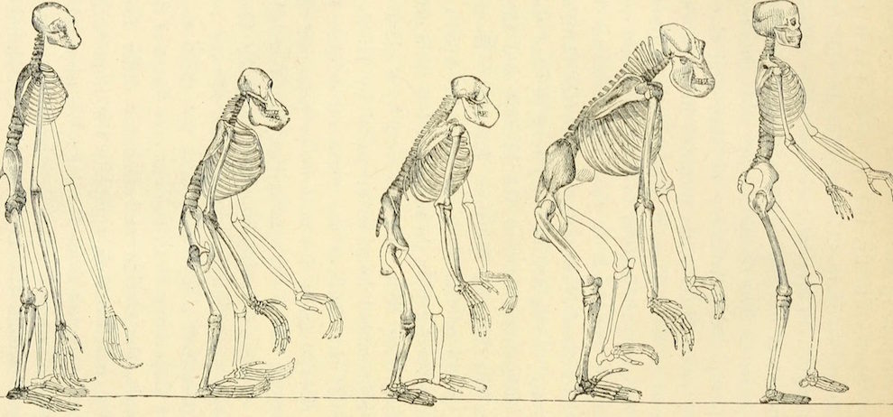 An image comparing human and other primate skeletons, taken from German biologist Ernst Haeckel's 1897 book The Evolution of Man and attributed to English biologist Thomas Henry Huxley.